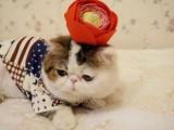 重庆正规猫舍重庆猫舍重庆加菲猫幼崽重庆加菲猫价格