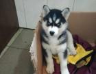 哈尔滨出售纯种哈士奇幼犬