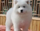 纯种萨摩耶幼犬 微笑的天使 犬舍繁殖 健康有保障