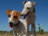 岳阳优良血统 纯种拉布拉多犬 健康 活泼 已疫苗驱虫