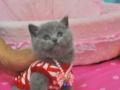 DDS家庭繁育高品质三个月红虎斑加菲猫dd