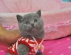 出售蓝猫加菲猫打包更便宜