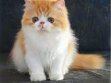 四川成都双血统加菲幼猫猫舍直销
