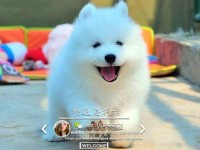 深圳哪里有卖萨摩耶犬 那种萨摩耶犬多少钱一只