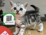 烟台哪里有虎斑猫出售 烟台虎斑猫价格 虎斑猫多少钱