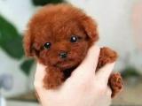 纯种韩系泰迪熊 茶杯 玩具 可爱至极 购买可签