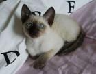 高品质暹罗猫 短毛猫 蓝猫 加菲猫 金吉拉 折耳猫