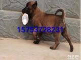 通化的马犬多少钱一只,小马犬的价格图片,黑马犬的训练视频