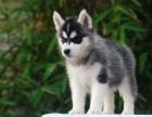 哈士奇幼犬出售纯种三把火蓝眼哈士奇西伯利亚雪橇犬