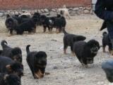 佛山自家犬舍专业繁殖藏獒幼犬