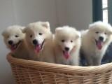 东莞 纯种萨摩耶 养殖场专售 先测试犬瘟