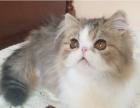 厦门哪里有波斯猫卖 纯种 无病无廯 协议质保
