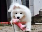 重庆卖萨摩信息 重庆出售萨摩犬 重庆纯种萨摩价格 萨摩照片