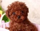 上海双血统萌萌哒玩具泰迪犬 茶杯泰迪犬 大眼睛娃娃