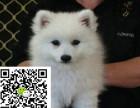 哪里有卖银狐犬 银狐犬多少钱 银狐犬图片