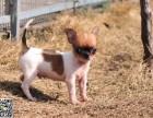 淄博犬舍长期出售-纯种吉娃娃 各类世界名犬 终身包纯种