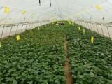 优质高产抗病红薯苗