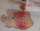 观赏鱼价格800