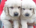 重庆 纯种金毛幼犬 专业犬舍 常年销售 精品繁育品质好