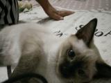 自家养泰国暹罗猫