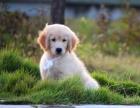 超漂亮金毛幼犬 常年售卖 有保障犬一顾客信赖的选择