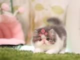 南宁哪里有卖加菲猫的最便宜多少钱一只
