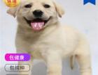 哪里有卖拉布拉多犬拉布拉多犬多少钱 支持全国发货