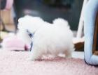 自家繁育纯种哈多利球体博美幼犬 保健康 购买签