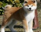出售纯种高品质 秋田犬 健康可来基地挑选