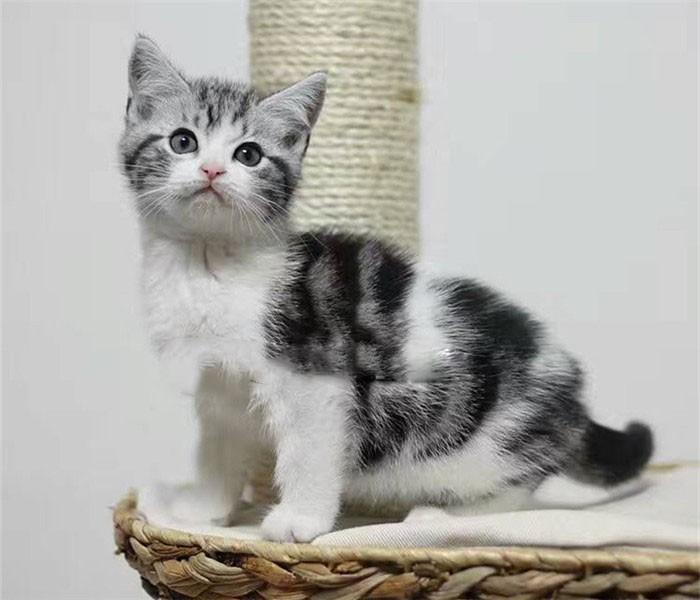 专业繁育纯种美国短毛猫 美短加白五粉幼猫 健康