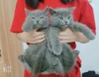 深圳蓝猫崽崽