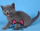 沈阳蓝猫哪有卖的 沈阳蓝猫多少钱 沈阳哪里有卖纯种蓝猫的