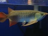 纯印尼血统红龙鱼,龙鱼,观赏鱼
