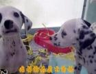 纯种健康的大麦町斑点幼犬出售了 公母都有欢迎选购