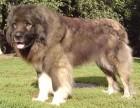 纯种熊版大头版大骨架好毛量高加索幼犬多只选择