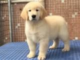 大骨架纯种金毛犬犬舍特价直销 可签订售后协议