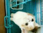菲猫宠物猫咪/异国短毛猫/家养纯种短毛/幼猫活体