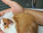 兔子荷蘭豬倉鼠刺猬松鼠實體店快遞包活到貨