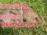 2018年养殖什么好首选杂交野兔,四川杂交野兔市场前景广阔