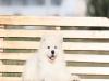 微笑天使 萨摩耶 犬