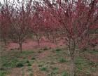 宝鸡种植30公分白蜡树在哪