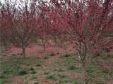 德州去找免费运输50公分国槐树