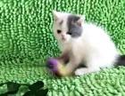 梵文 蓝白 英短猫咪