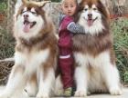 乌鲁木齐哪里有卖阿拉斯加的 巨型阿拉多少钱 熊版阿拉斯加出售