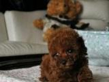 家养泰迪狗狗转让出售 自己家泰迪生的公母都有