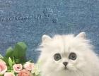 纯血宠物级银色母猫,带金银基因面平五短身材的金吉拉