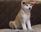 佛山秋田犬 价格合理 实物拍摄 售后三包