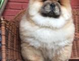 松狮犬纯种家养繁殖松狮犬出售精品家养活体宠物狗