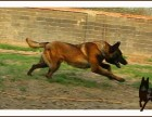 哪里有马犬,多少钱一只小马犬,马犬价格多少
