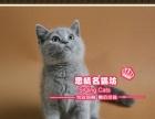 夏日促销一枚帅气的英短蓝猫小dd-思晴名猫坊